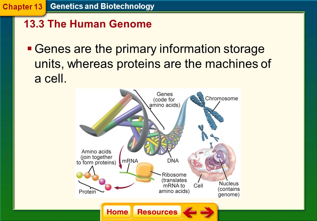 Chapter 13 Genetics and Biotechnology. 13.3 The Human Genome.