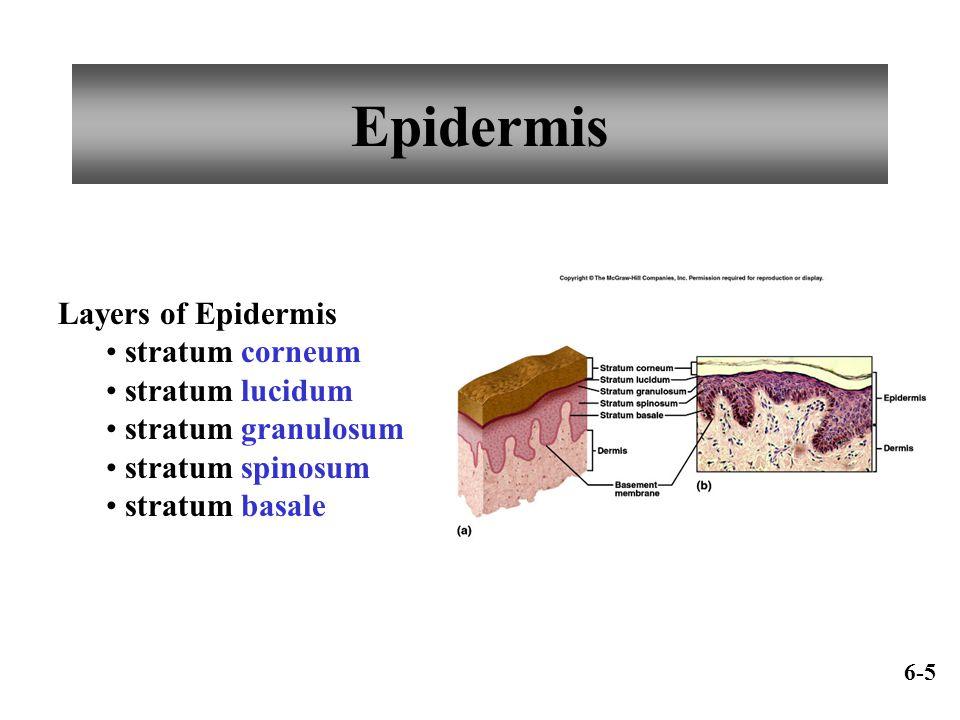 Epidermis Layers of Epidermis stratum corneum stratum lucidum