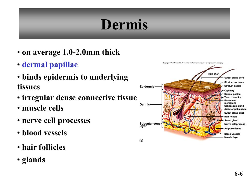 Dermis on average 1.0-2.0mm thick dermal papillae