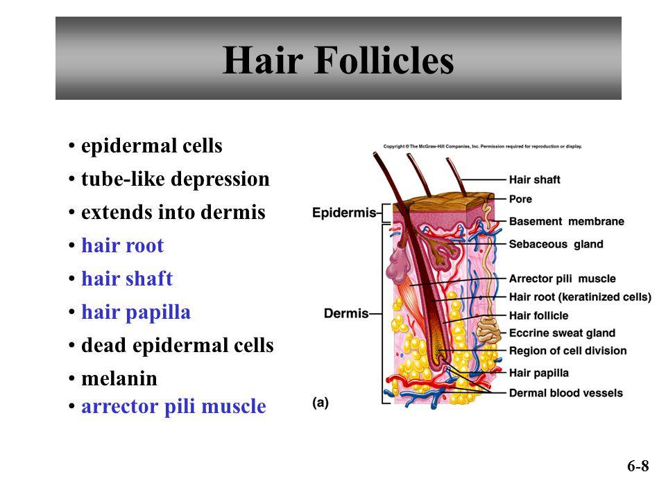 Hair Follicles epidermal cells tube-like depression