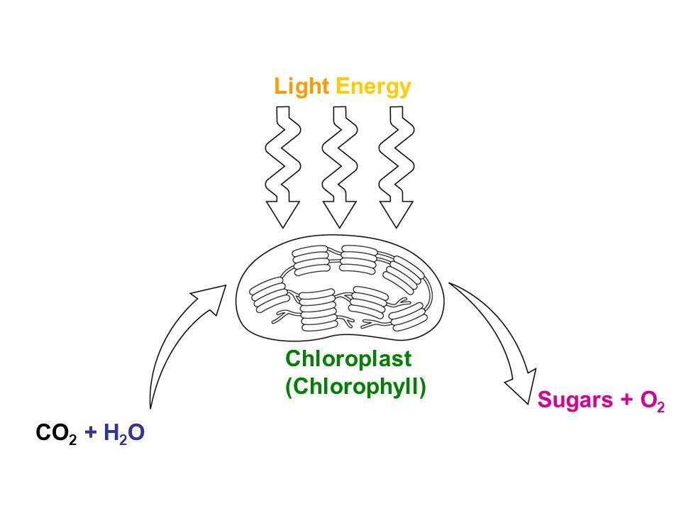 Light Energy Chloroplast (Chlorophyll) Sugars + O2 CO2 + H2O