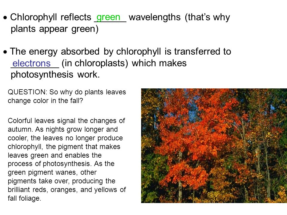 Chlorophyll reflects ______ wavelengths (that's why