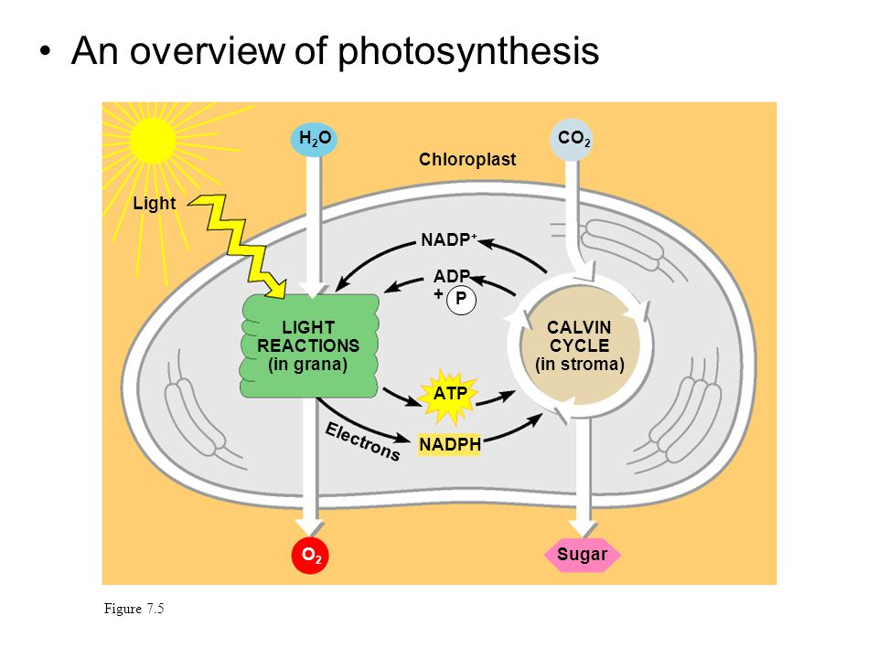 LIGHT REACTIONS (in grana) CALVIN CYCLE (in stroma)