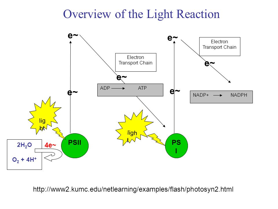 Overview of the Light Reaction