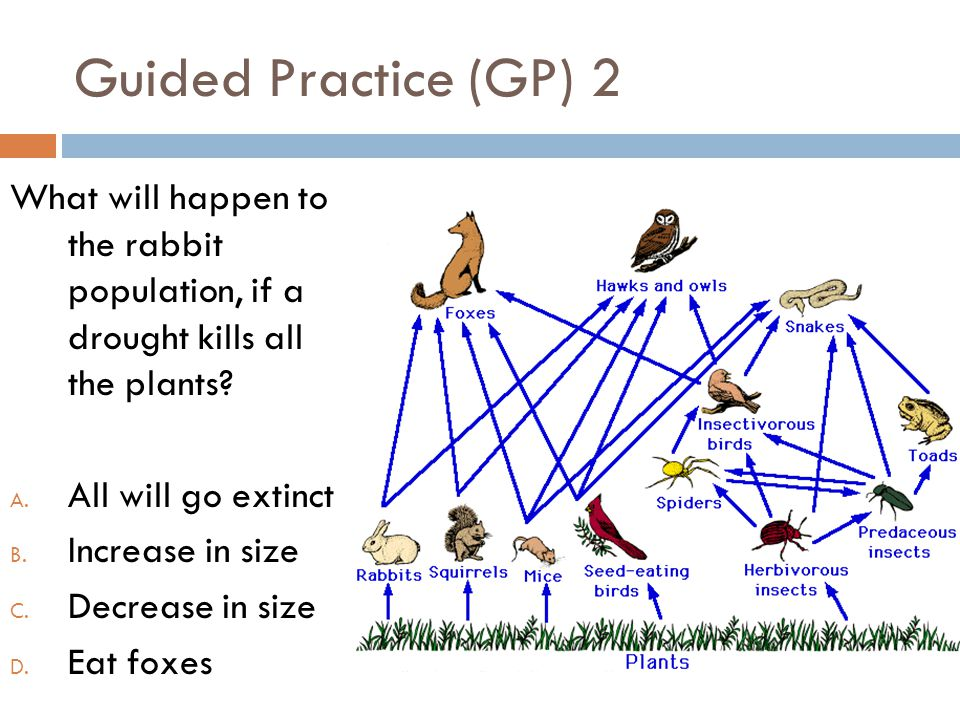 Guided Practice (GP) 2 What will happen to the rabbit population, if a drought kills all the plants