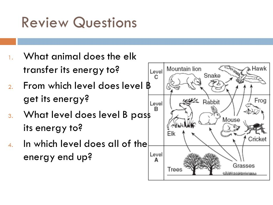 Review Questions What animal does the elk transfer its energy to