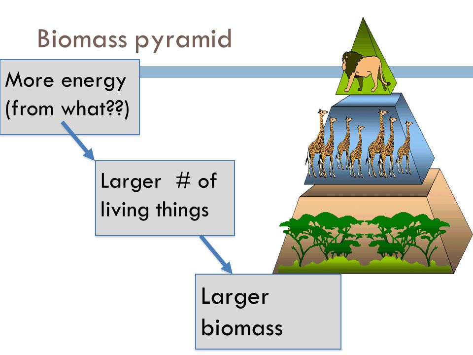 Biomass pyramid Larger biomass More energy (from what )