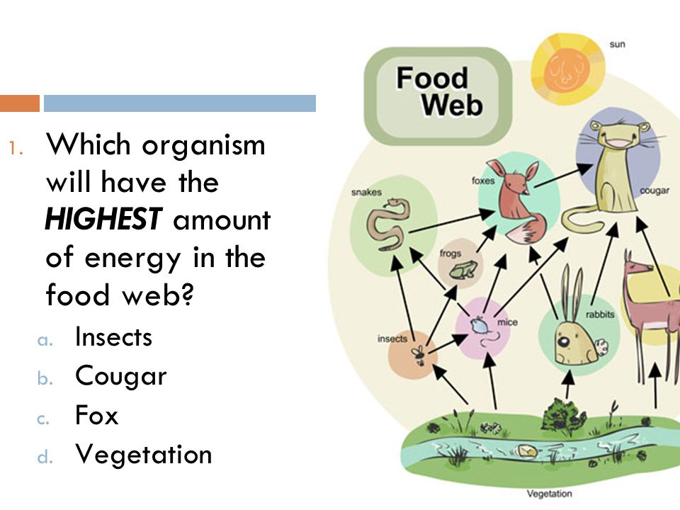 Which organism will have the HIGHEST amount of energy in the food web