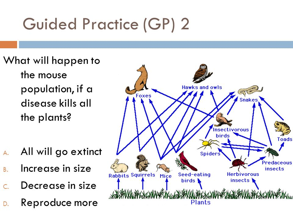 Guided Practice (GP) 2 What will happen to the mouse population, if a disease kills all the plants