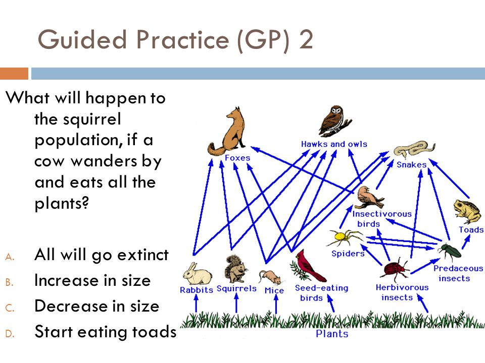 Guided Practice (GP) 2 What will happen to the squirrel population, if a cow wanders by and eats all the plants