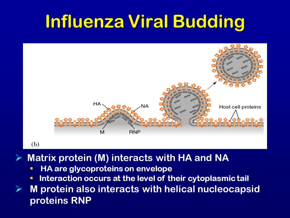 Influenza Viral Budding