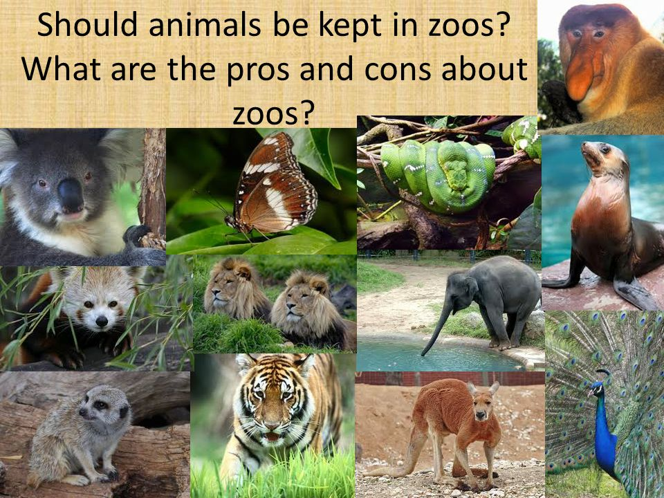 Should animals be kept in zoos What are the pros and cons about zoos