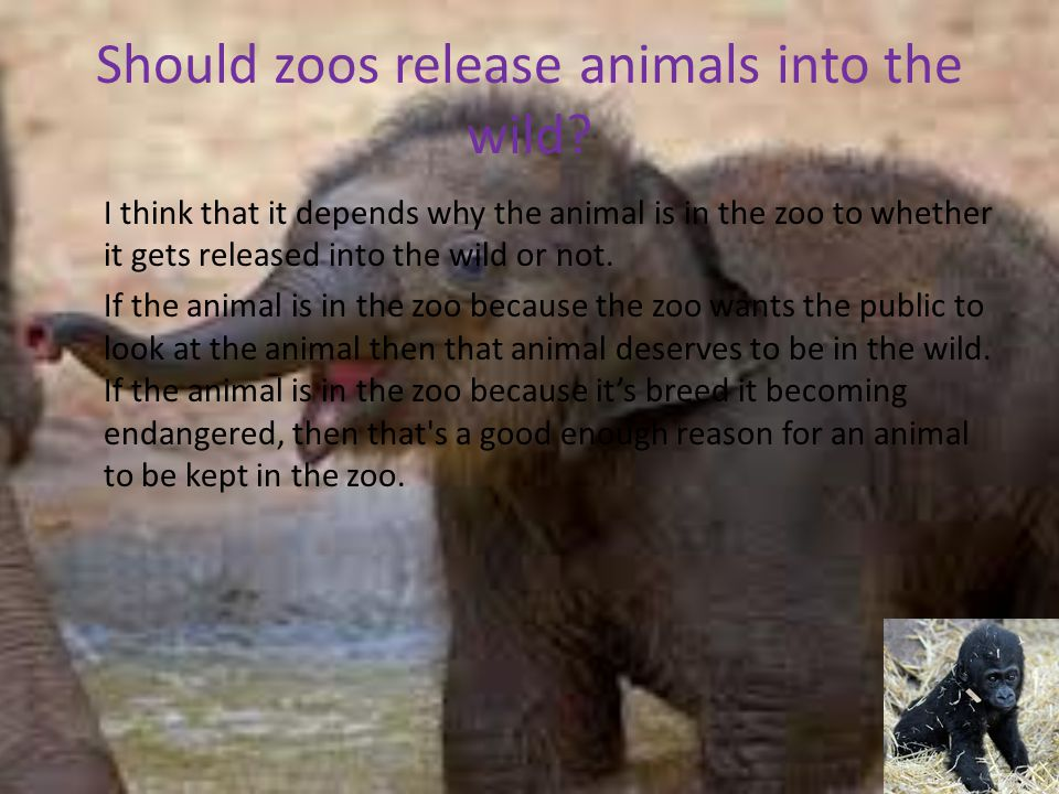 Should zoos release animals into the wild