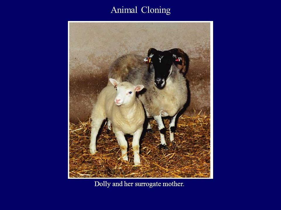 Animal Cloning Dolly and her surrogate mother.