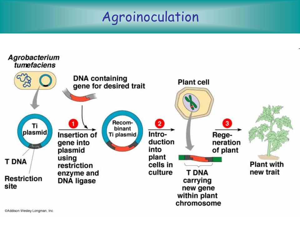 Agroinoculation