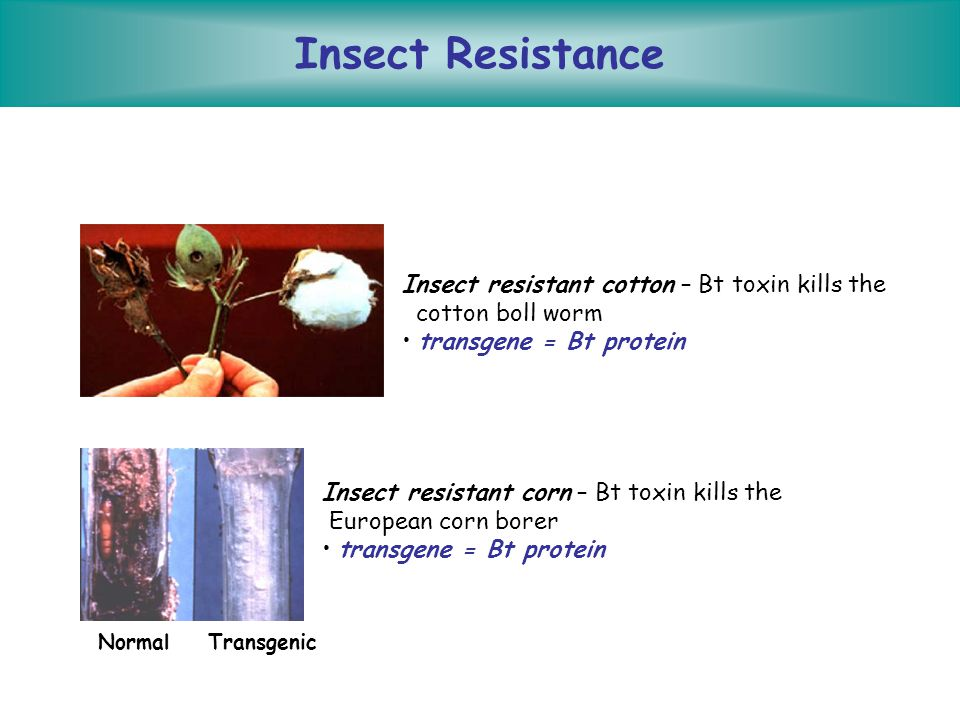 Insect Resistance Insect resistant cotton – Bt toxin kills the