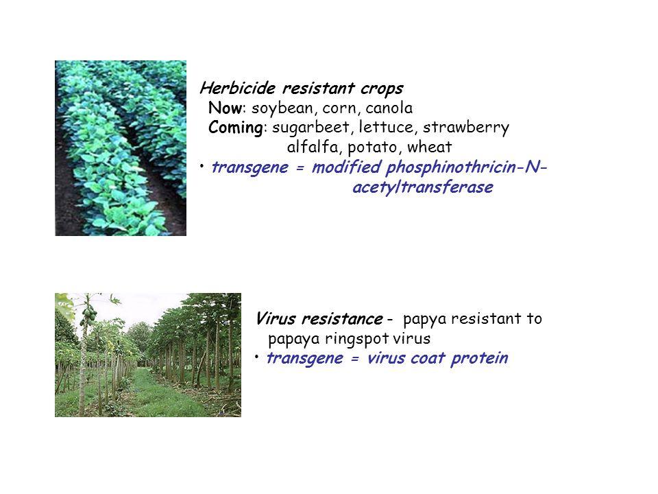 Virus resistance - papya resistant to