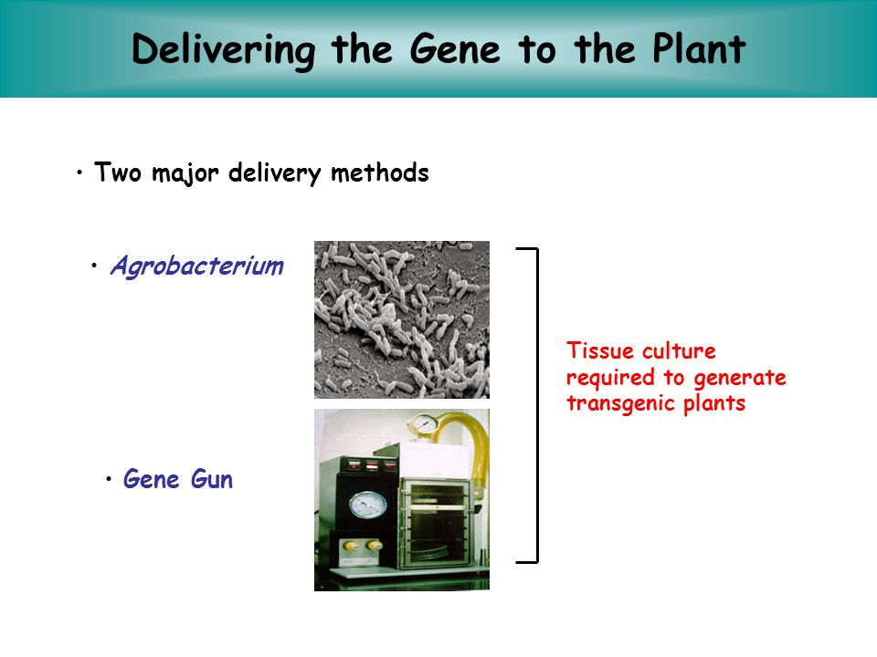 Delivering the Gene to the Plant