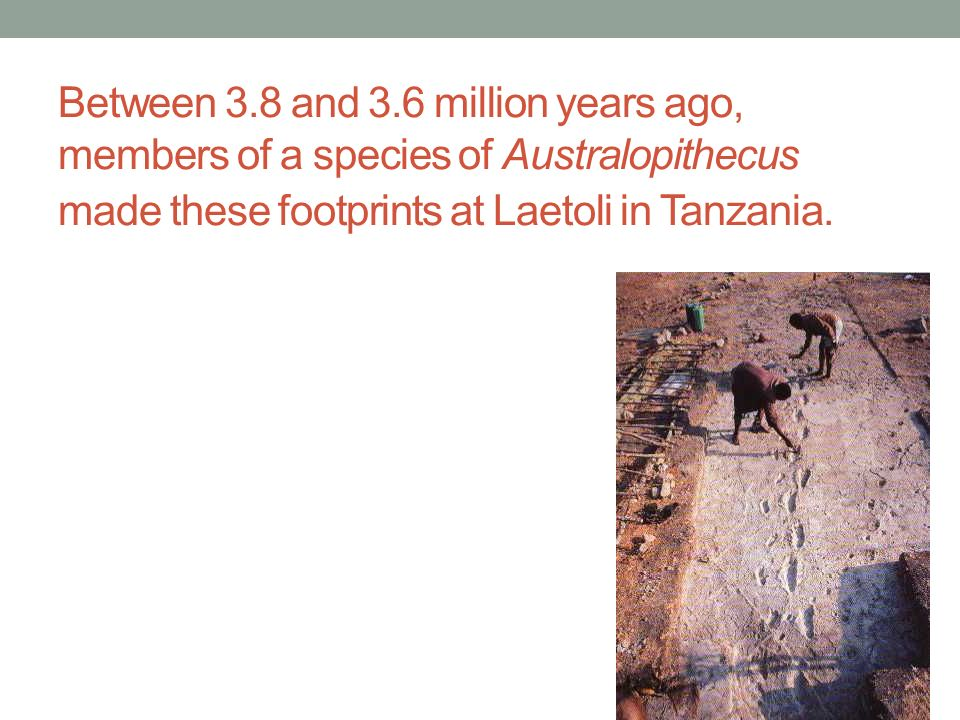 Between 3.8 and 3.6 million years ago, members of a species of Australopithecus made these footprints at Laetoli in Tanzania.