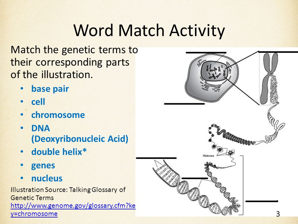 Word Match Activity Match the genetic terms to their corresponding parts of the illustration. base pair.