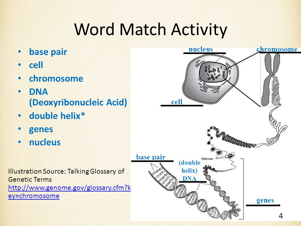 Word Match Activity base pair cell chromosome