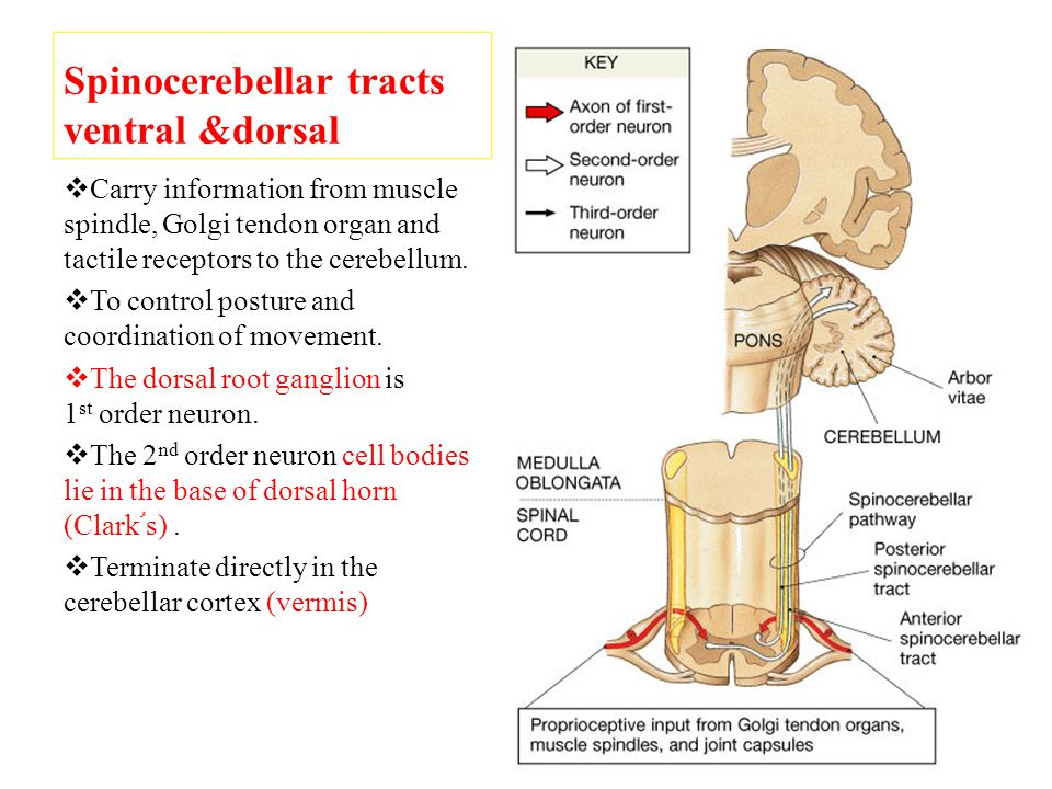 Spinocerebellar tracts ventral &dorsal