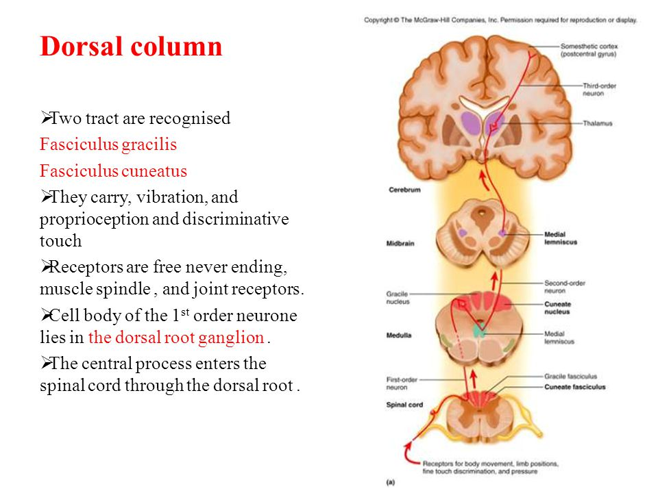 Dorsal column Two tract are recognised Fasciculus gracilis
