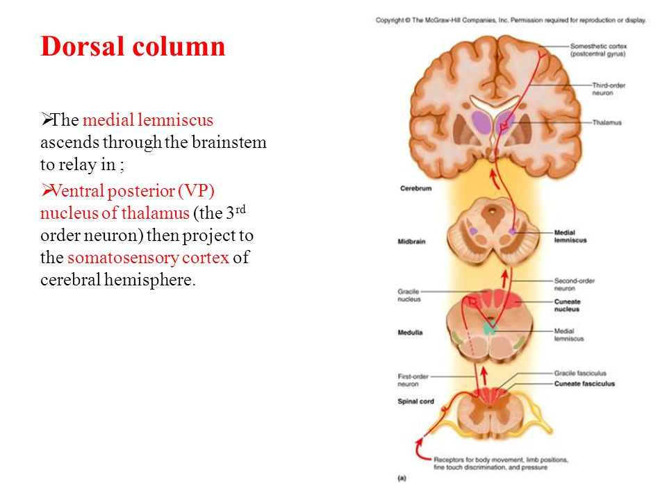 Dorsal column The medial lemniscus ascends through the brainstem to relay in ;