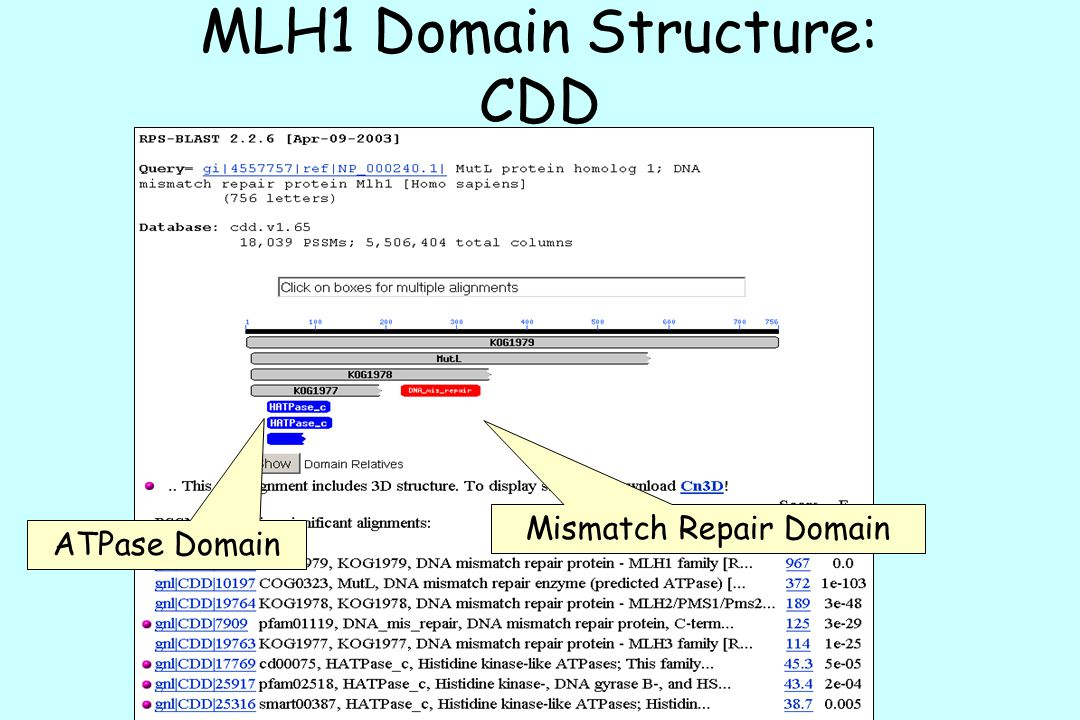 MLH1 Domain Structure: CDD