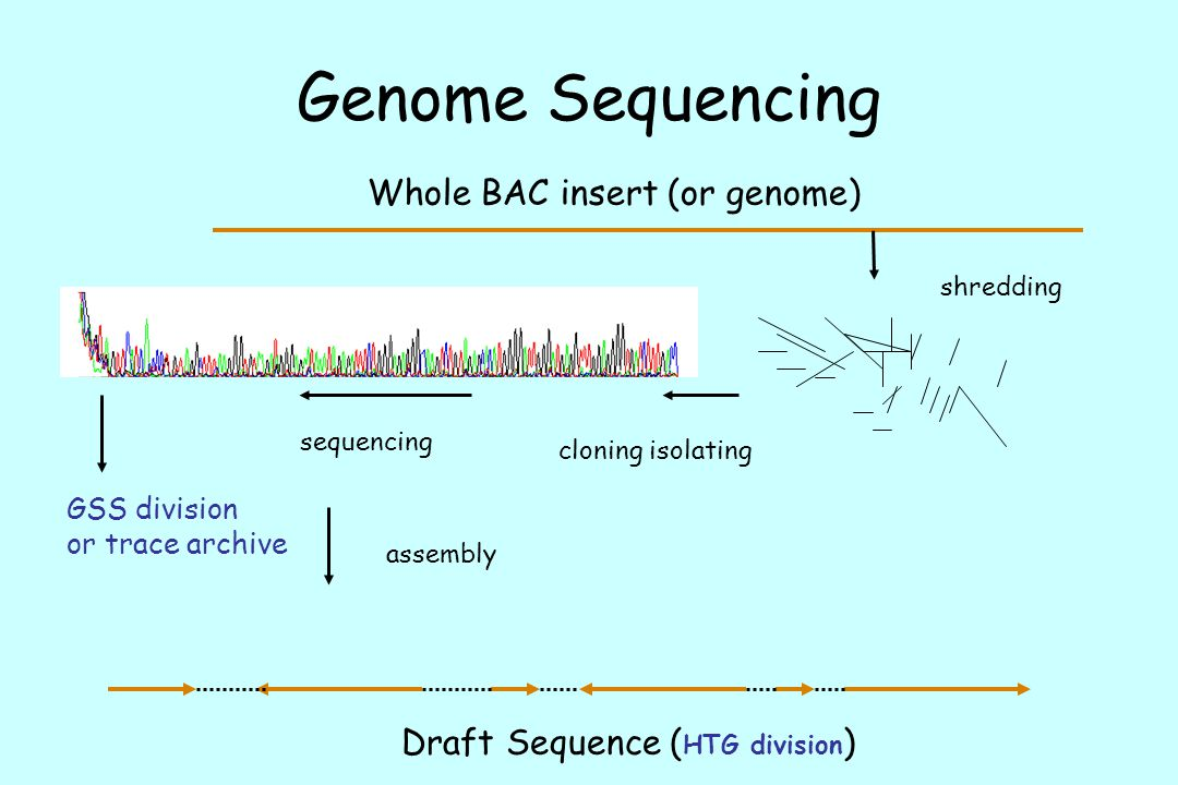Genome Sequencing Whole BAC insert (or genome)