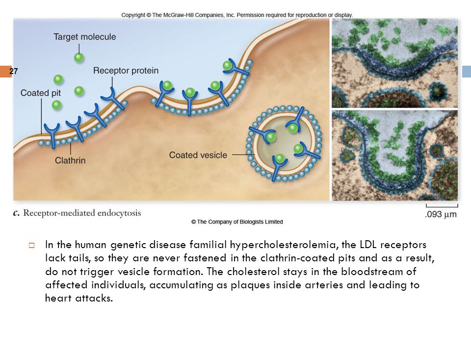 In the human genetic disease familial hypercholesterolemia, the LDL receptors lack tails, so they are never fastened in the clathrin-coated pits and as a result, do not trigger vesicle formation.