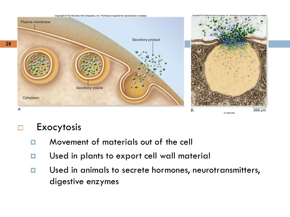 Exocytosis Movement of materials out of the cell