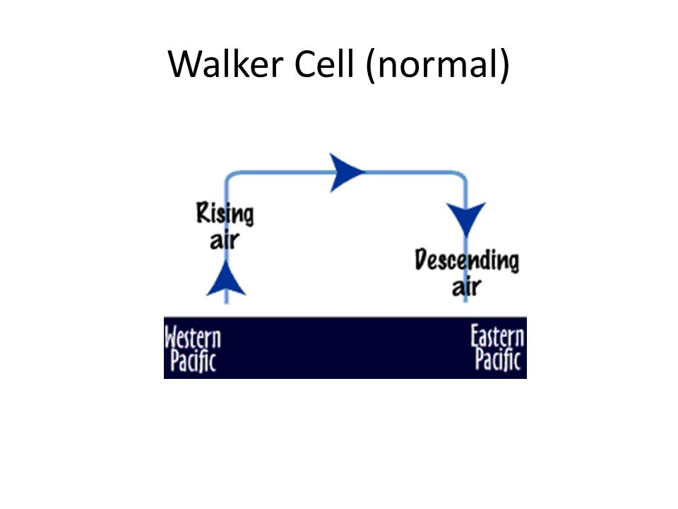 Walker Cell (normal)