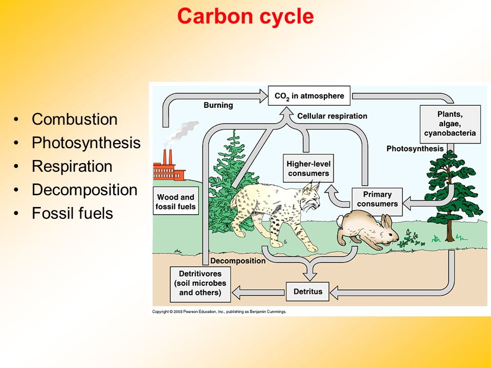 Carbon cycle Combustion Photosynthesis Respiration Decomposition