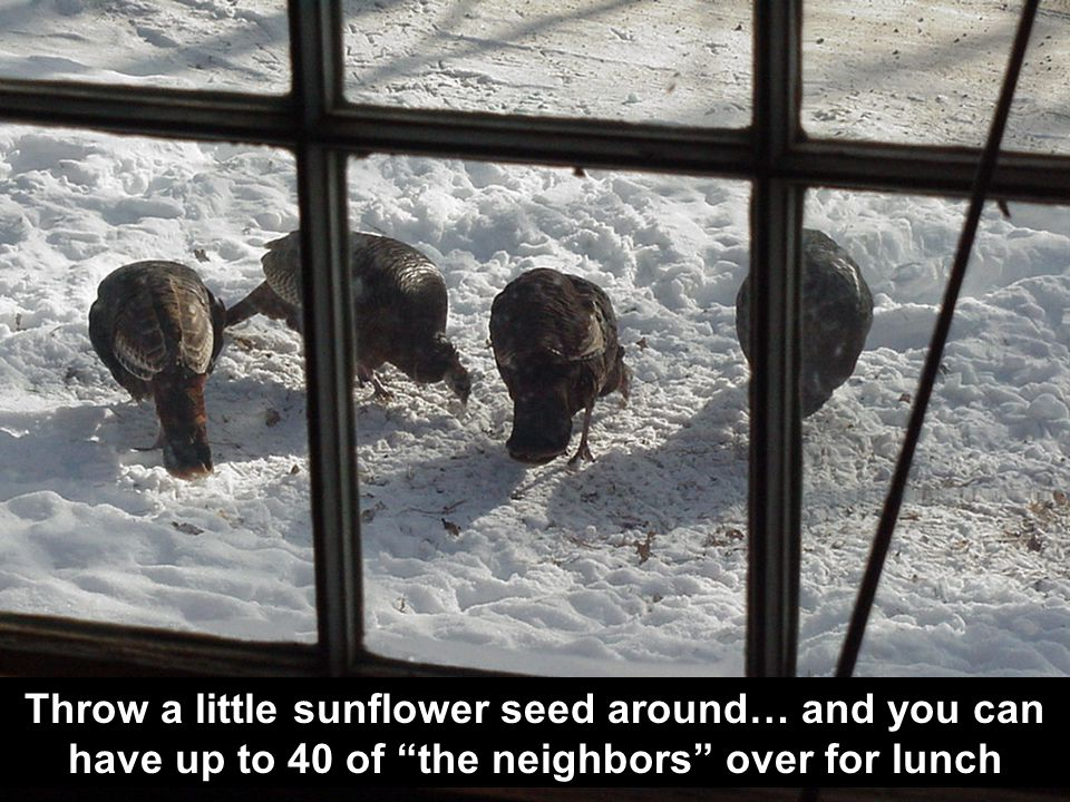 Throw a little sunflower seed around… and you can have up to 40 of the neighbors over for lunch