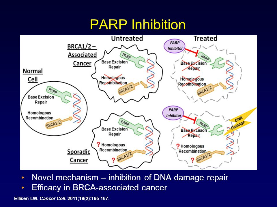 PARP Inhibition Novel mechanism – inhibition of DNA damage repair