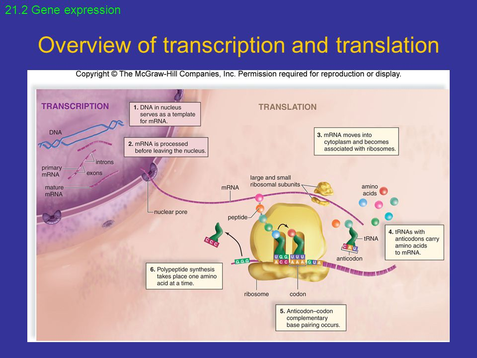 Overview of transcription and translation