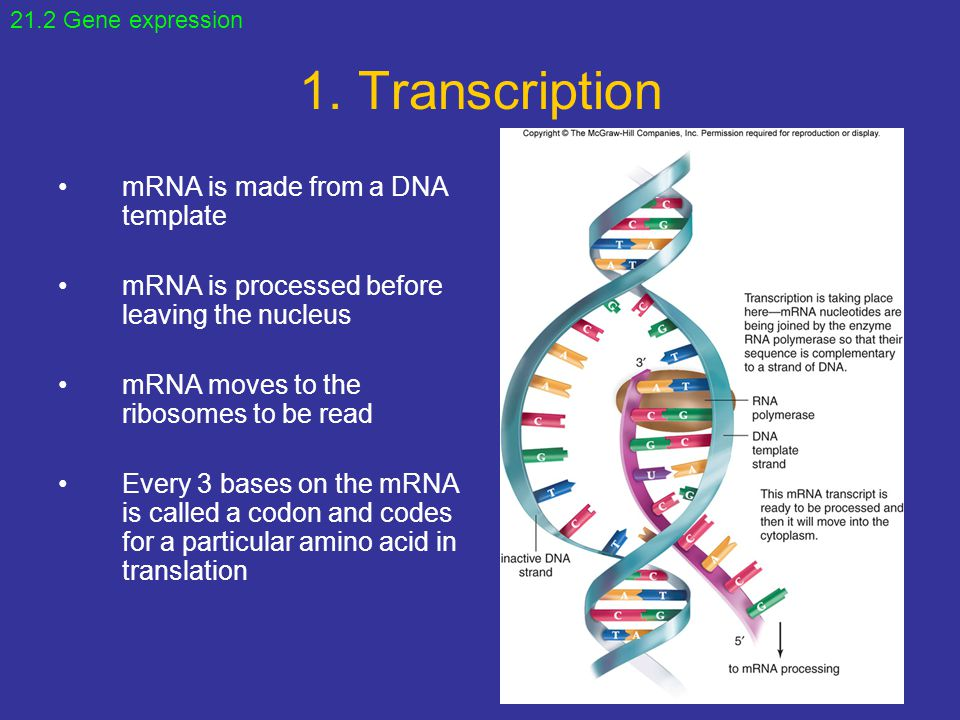 1. Transcription mRNA is made from a DNA template