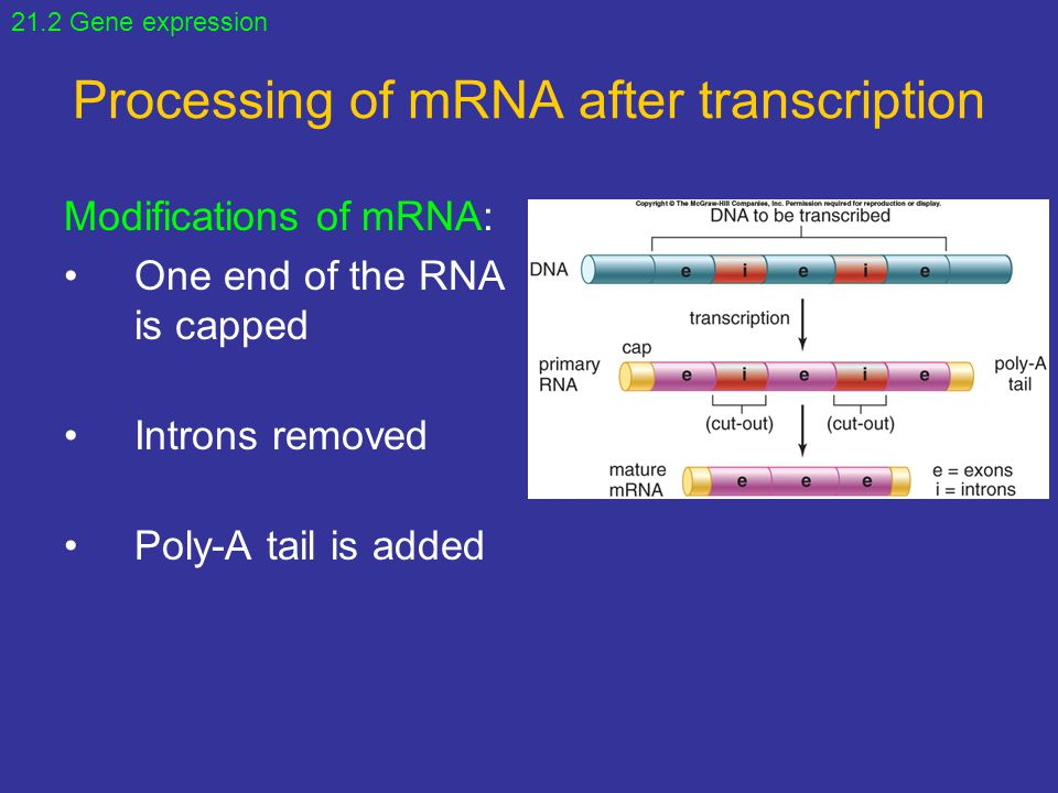 Processing of mRNA after transcription