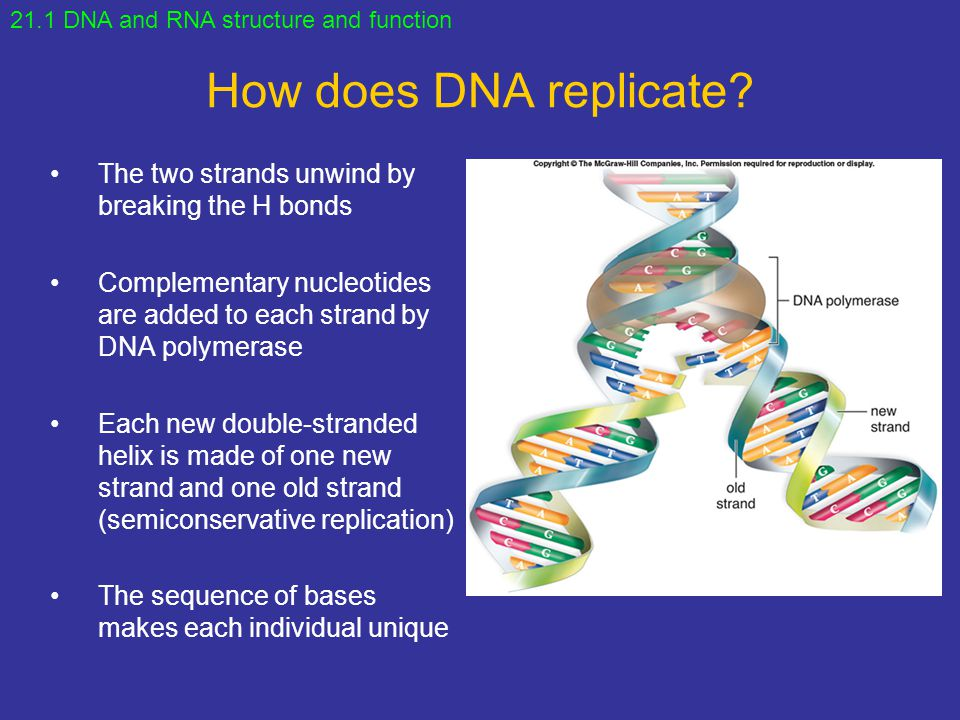 How does DNA replicate The two strands unwind by breaking the H bonds