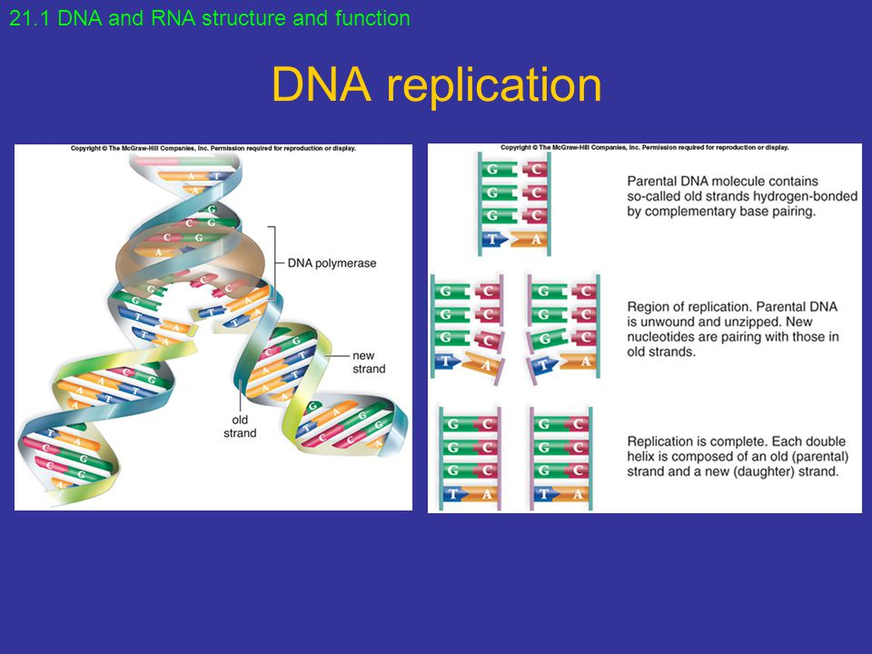 21.1 DNA and RNA structure and function