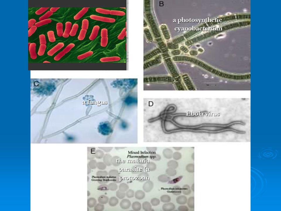 the Bacterium Escherichia coli;