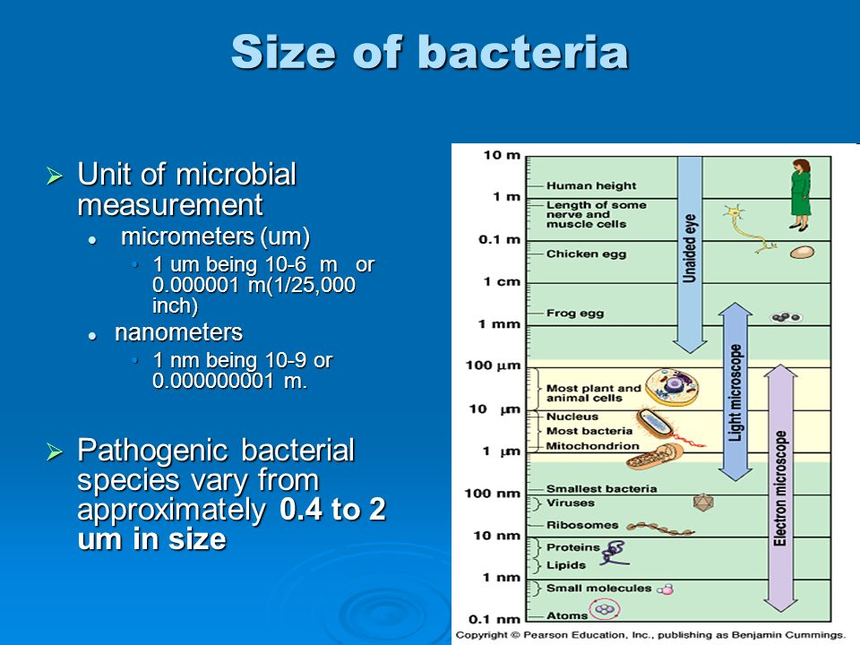 Size of bacteria Unit of microbial measurement