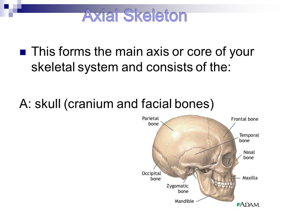 Axial Skeleton This forms the main axis or core of your skeletal system and consists of the: A: skull (cranium and facial bones)