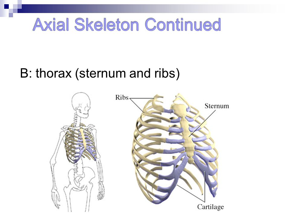 Axial Skeleton Continued