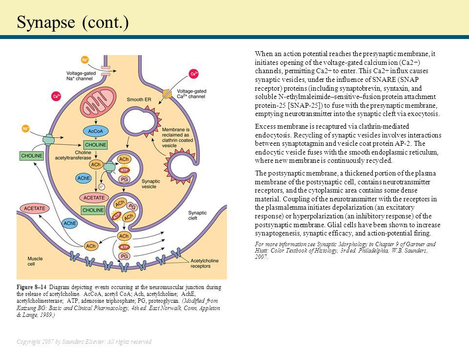 Synapse (cont.)