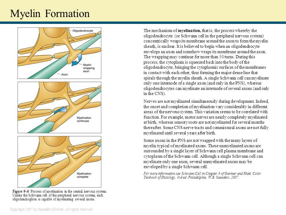 Myelin Formation