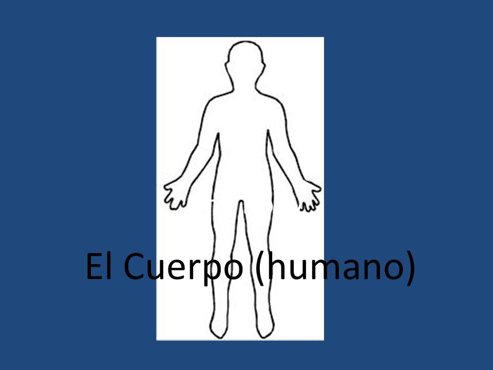 The Body El Cuerpo (humano)