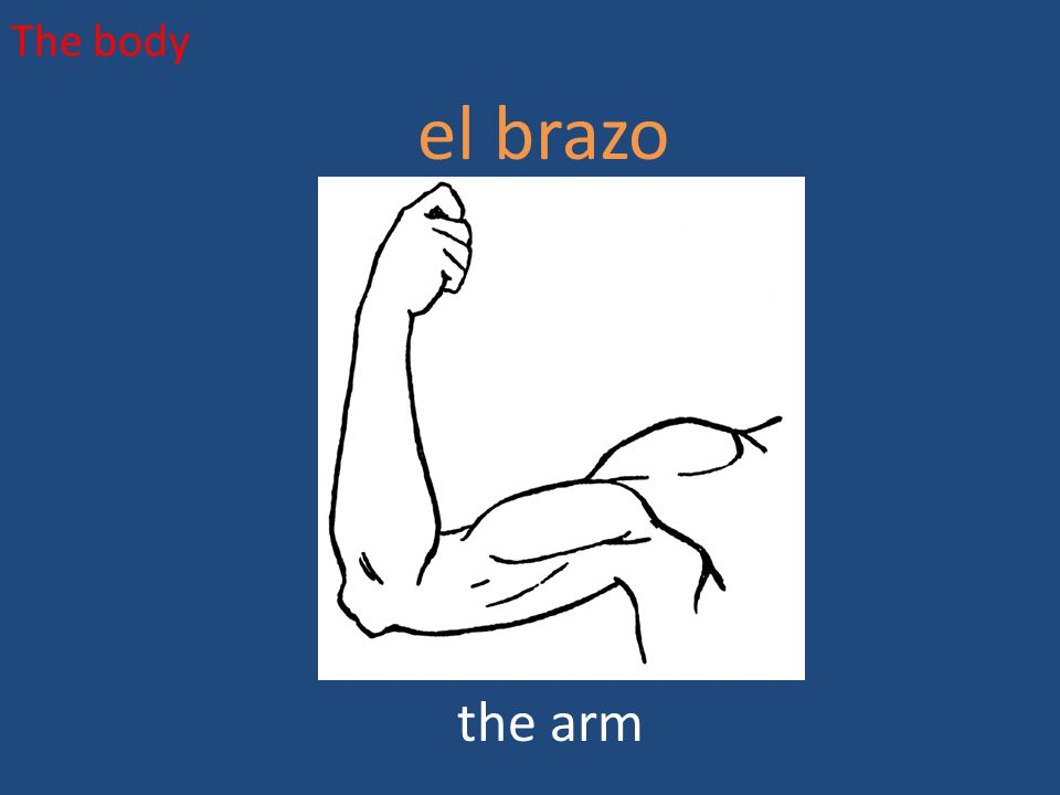 The body el brazo the arm