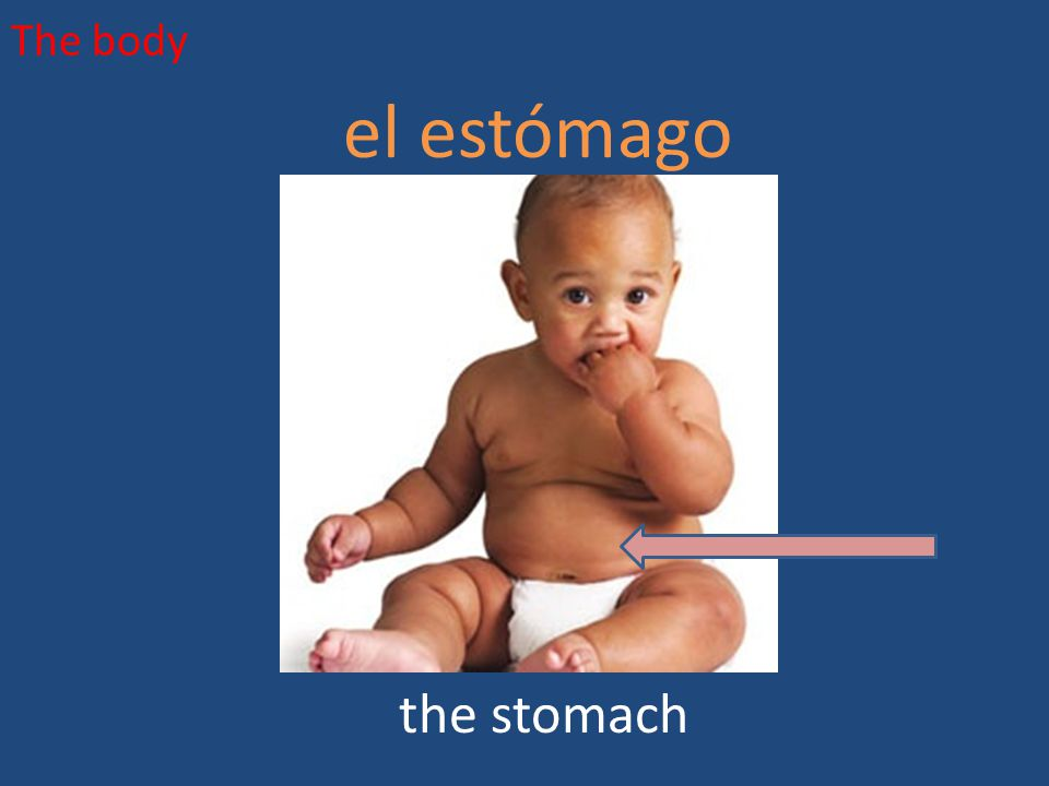 The body el estómago the stomach